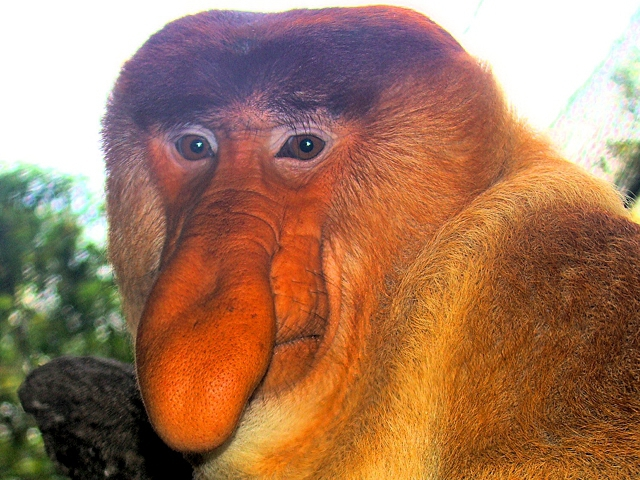 Название: portrait_of_a_proboscis_monkey.jpg Просмотров: 556  Размер: 266.6 Кб