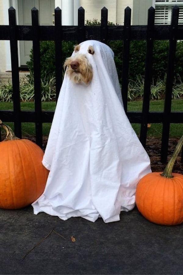 Название: silly-pictures-of-ghost-dog-costume.jpg Просмотров: 403  Размер: 83.0 Кб